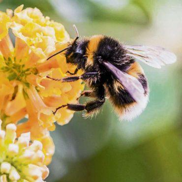 Amerikanische Faulbrut bei Bienen ausgebrochen