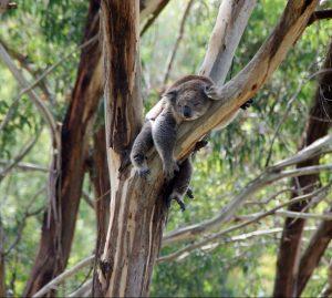 koala-288568_1280