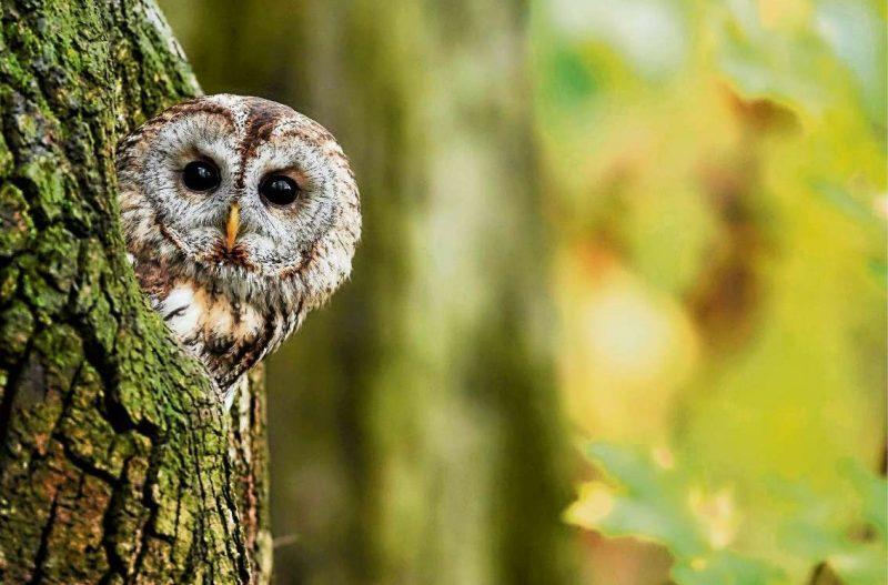 Warum der Waldkauz Vogel des Jahres wurde