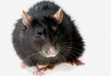 Rattenkampf am Helmi