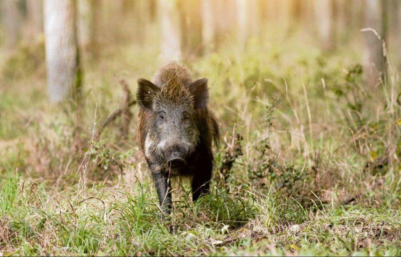 Wildschweine kommen näher