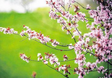 Rosa leuchten die Kirschblüten zum Osterfest