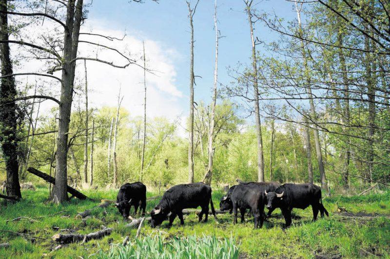 Die Rinder sind zurück im Fließ