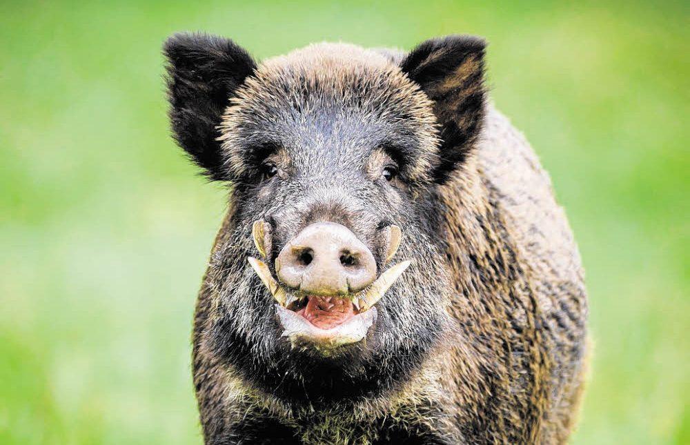 Respektlose Schweine