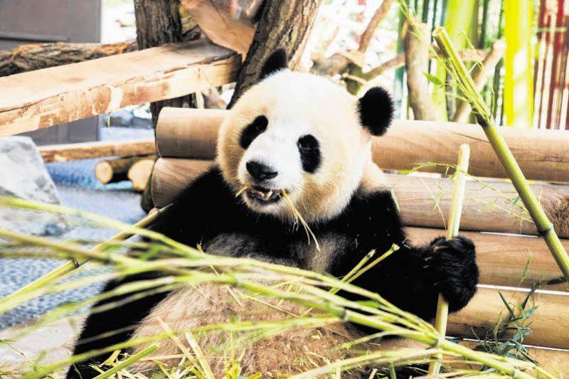 Berlin im Panda-Fieber