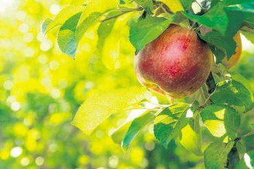 Apfelfest in der Borkzeile
