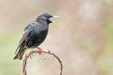 Der Star unter den Vögeln ist stark gefährdet
