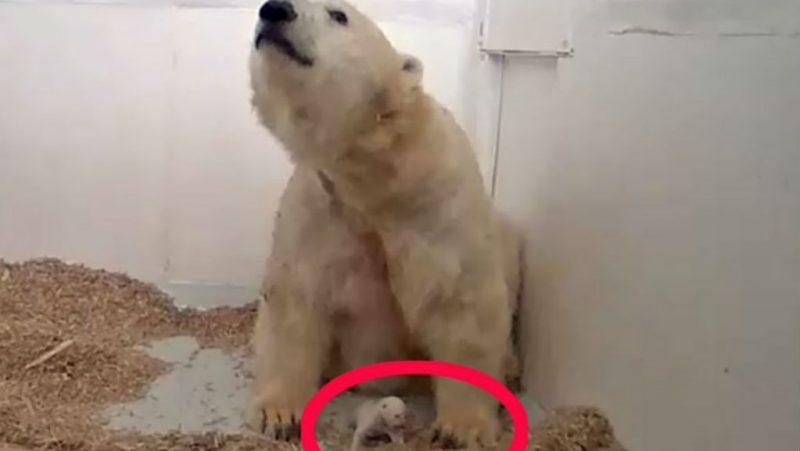 Das Eisbären-Baby ist tot