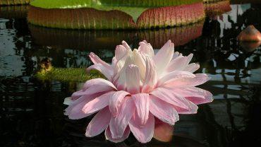 Botanischer Garten: Die Riesenseerose ist wieder da