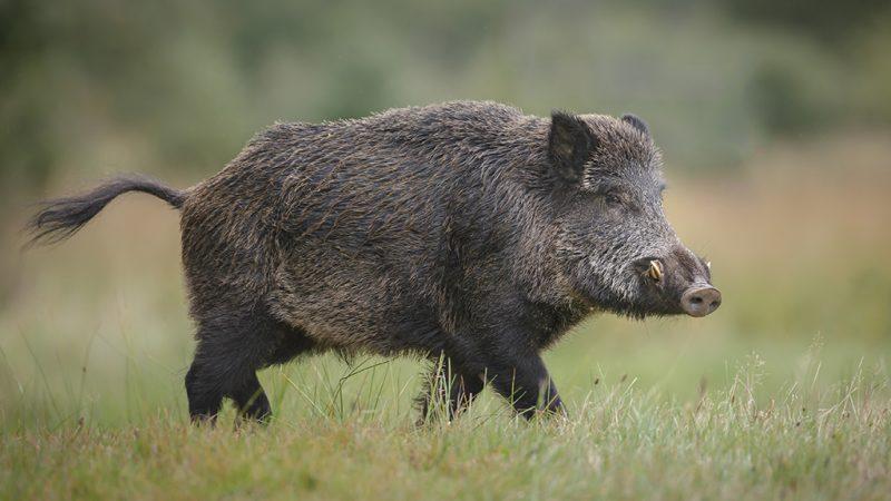 Ärger mit Wildschweinen am Stadtrand