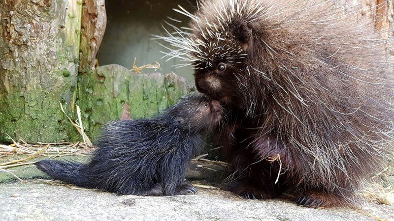 Baumstachler-Nachwuchs im Tierpark