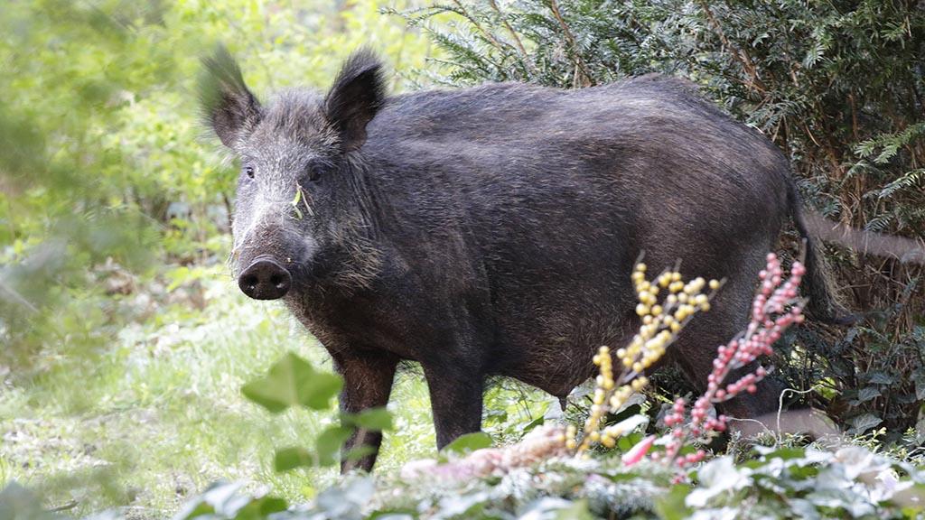 Wildschweine sorgen für mehr Schäden