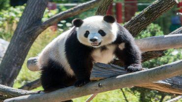 Ein Jahr Panda-Fieber im Zoo