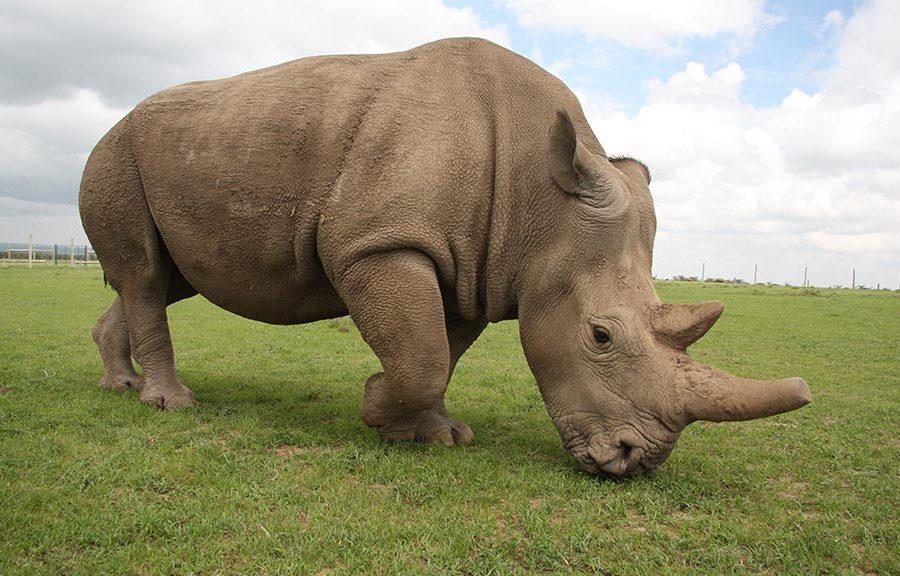 Die Nashorn-Retter kommen aus Lichtenberg
