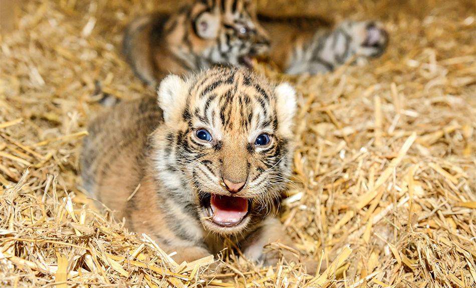 Vierfaches Glück in Tiger-Streifen