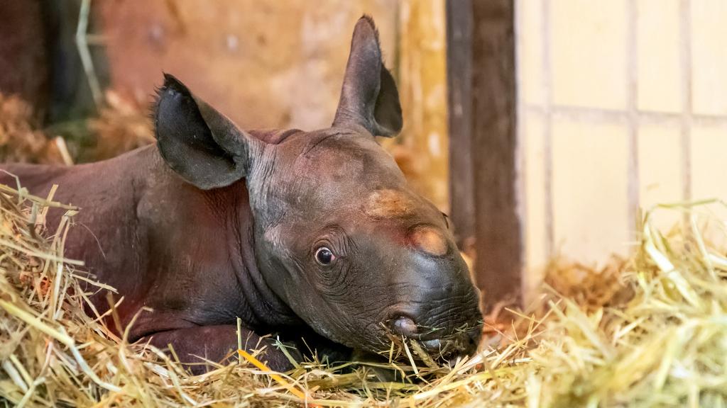 Spitzmaulnashorn am Welt-Nashorn-Tag geboren