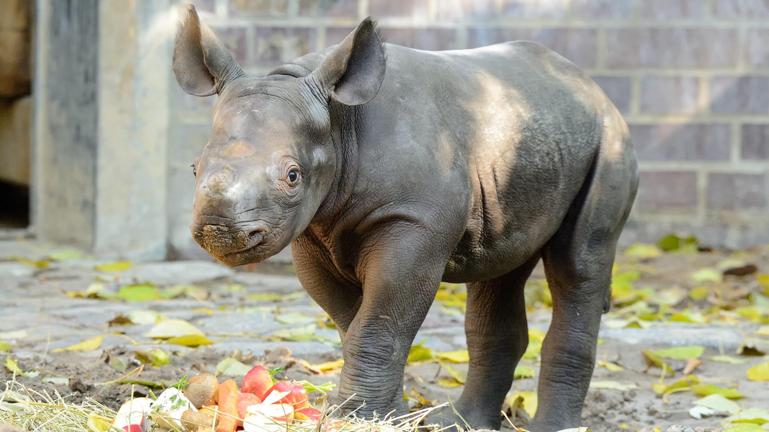 Nashorn-Baby erkundet erstmals Außenanlage