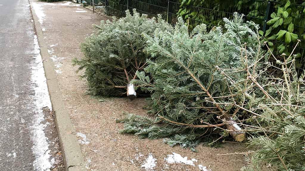 Weihnachtsbäume werden ab dem 7. Januar eingesammelt