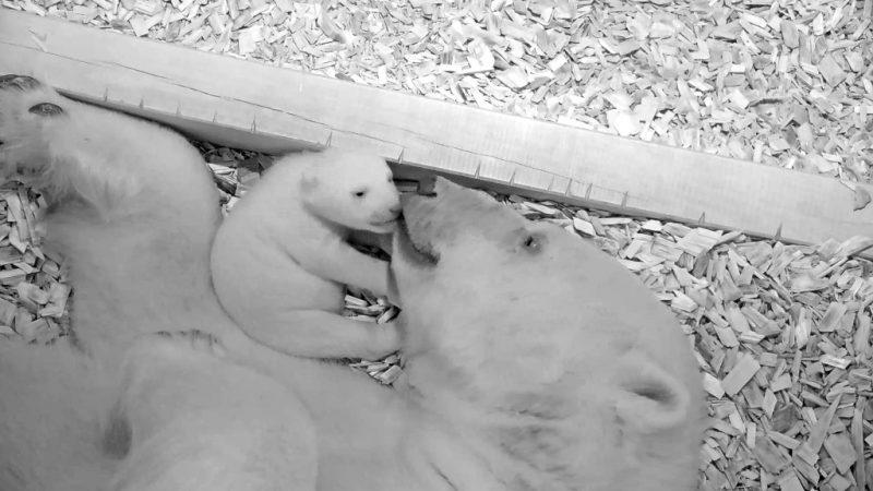 Eisbären-Baby öffnet seine Augen
