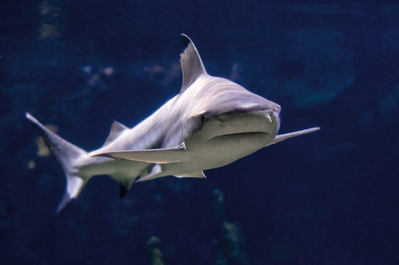 Zwei neue Hai-Damen im Aquarium eingezogen