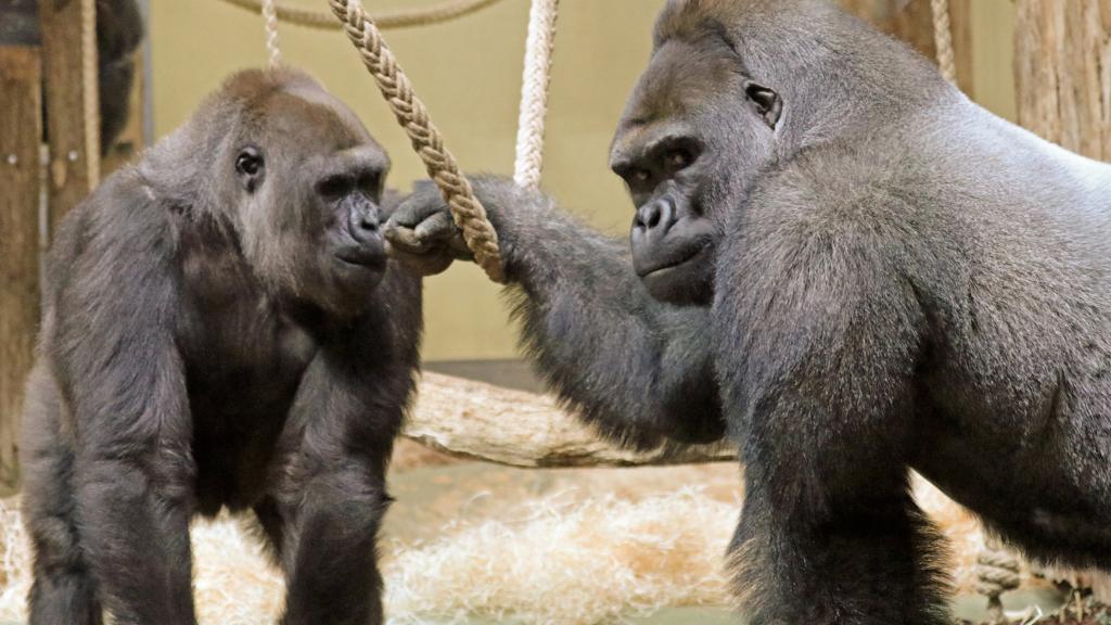 Liebe auf den ersten Blick bei Gorilla-Neuzugang Sango