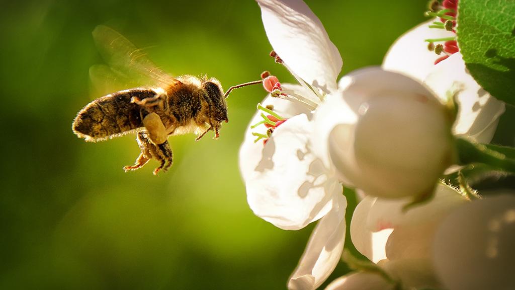 Pilotprojekt für Berliner Bienen