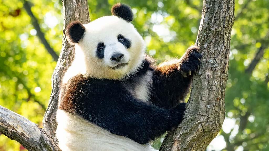 Fast sicher – Panda-Bärin Meng Meng erwartet Nachwuchs