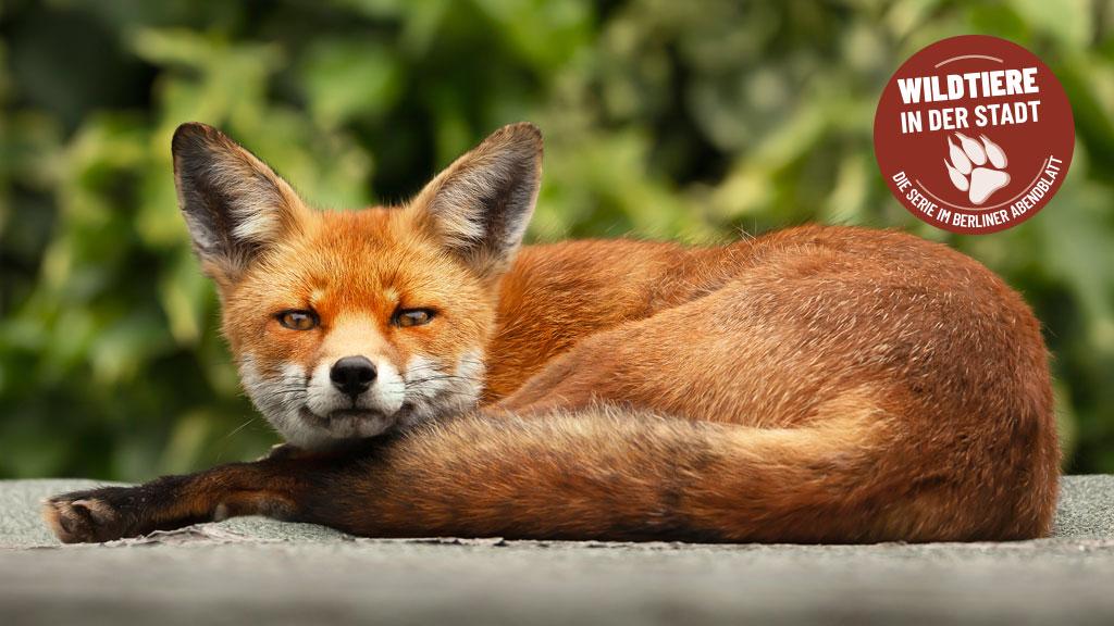 Keine Angst vor Rotröcken: Füchse in Berlin