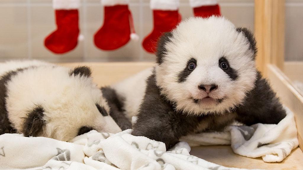 Nikolaus bei den Berliner Pandas