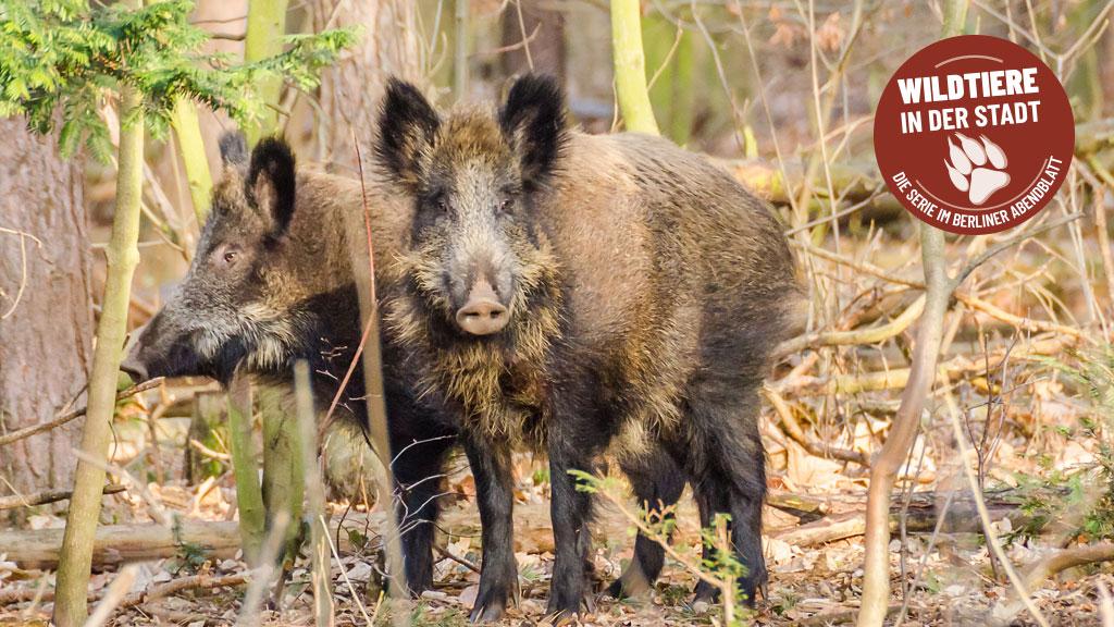 Sauschlaue Nachbarn: Wildschweine in Berlin