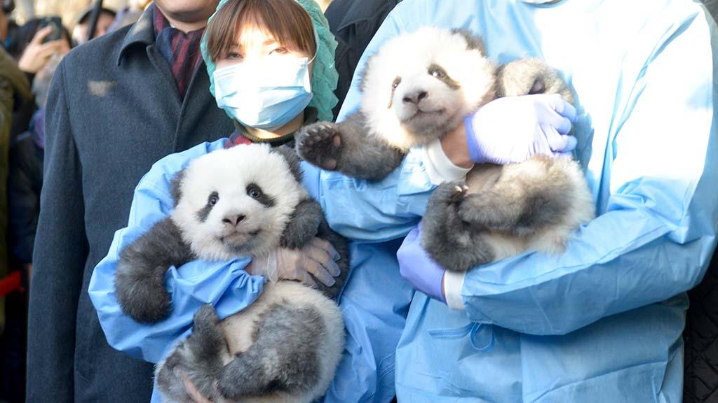Zoo Berlin gibt Namen der Panda-Twins bekannt