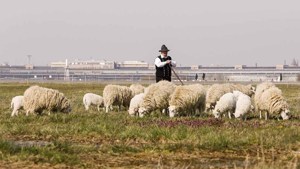 Berlin-Tempelhof: Schafe pflegen das Airport-Gras