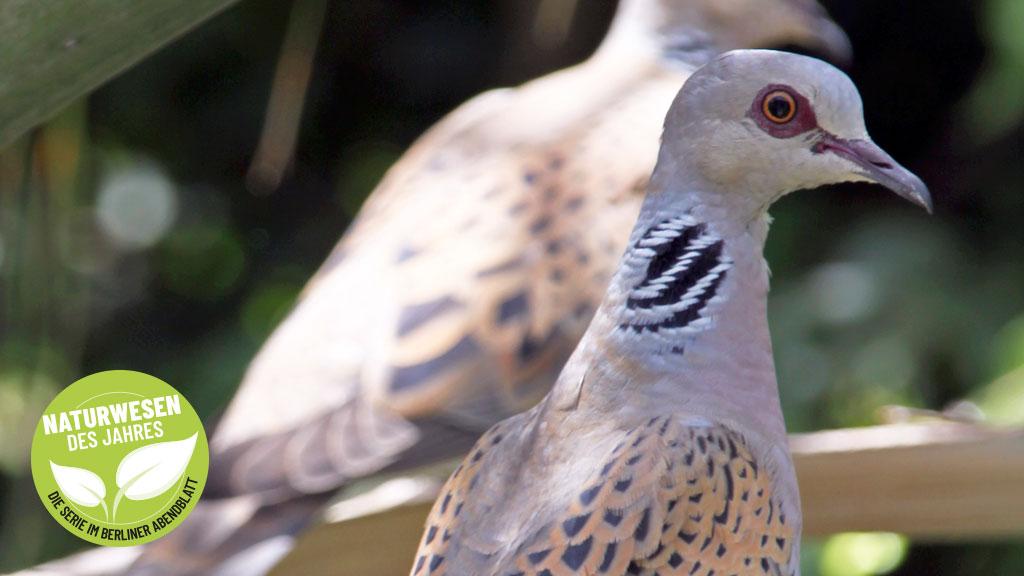 Turteltaube: Schnell-Flieger steht für Liebe