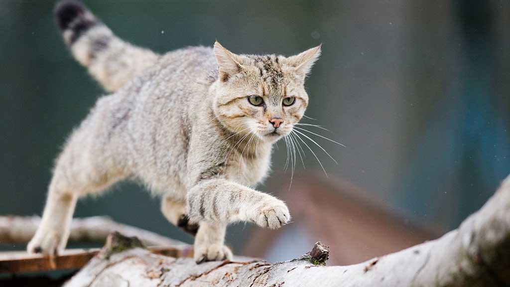 Streicheln verboten: Wildkatzen sind keine Haustiere