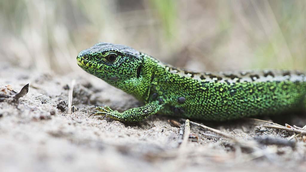 Die Zauneidechse muss umziehen. Ein Vorkommen der Reptile ist auf der Baustelle zum Neubau der Gustav-Heinemann Oberschule entdeckt worden
