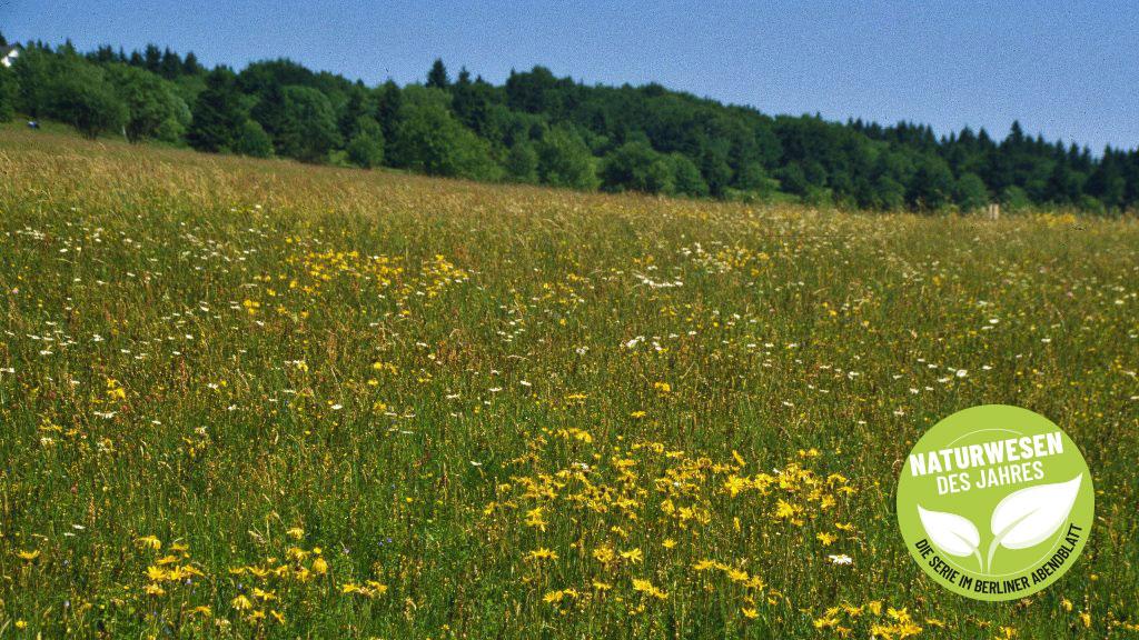 Eine bunte, aber bedrohte Pflanzengesellschaft