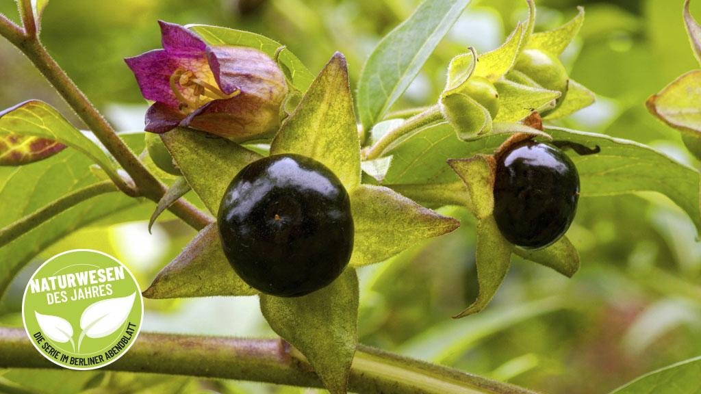 Tödliche Beeren
