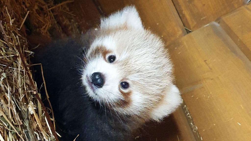 Berliner Tierpark: Nachwuchs bei den Kleinen Pandas
