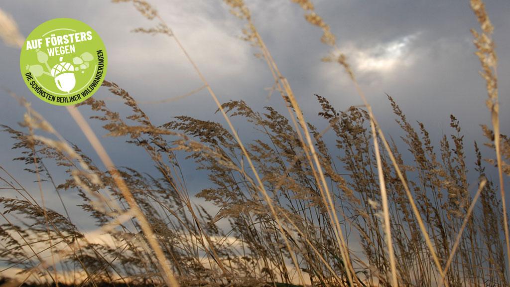 Fichten wiegen sich im Wind