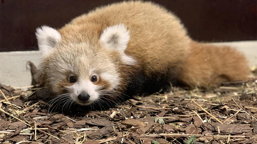Roter Panda sucht Namen
