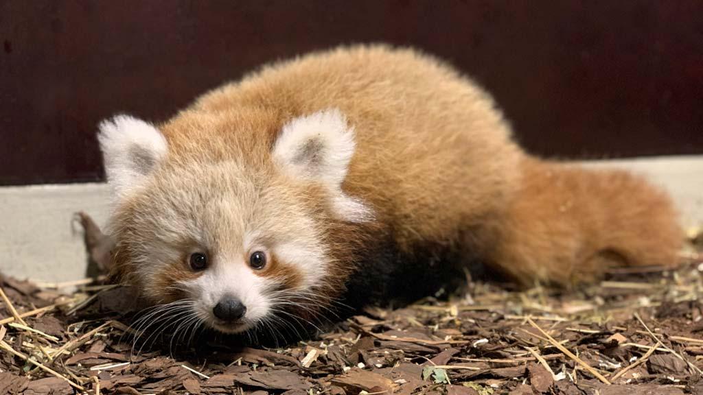 Kleiner Roter Panda ist ein Mädchen – und Teil der Union-Familie