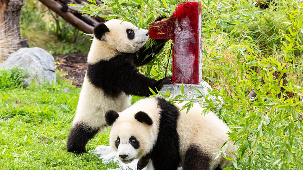 Erster Geburtstag der Panda-Zwillinge im Zoo