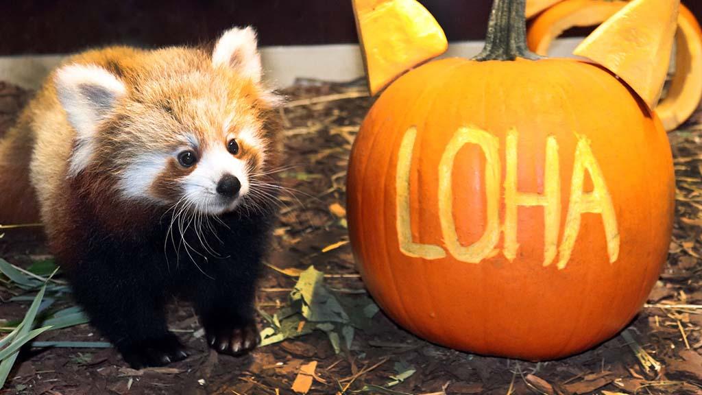 Tierpark Berlin: Kleiner Panda ist jetzt ganz eisern