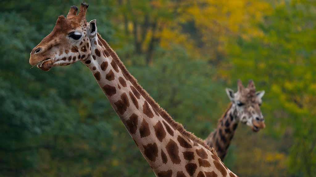 Giraffen-im-Tierpark-Friedrichsfelde