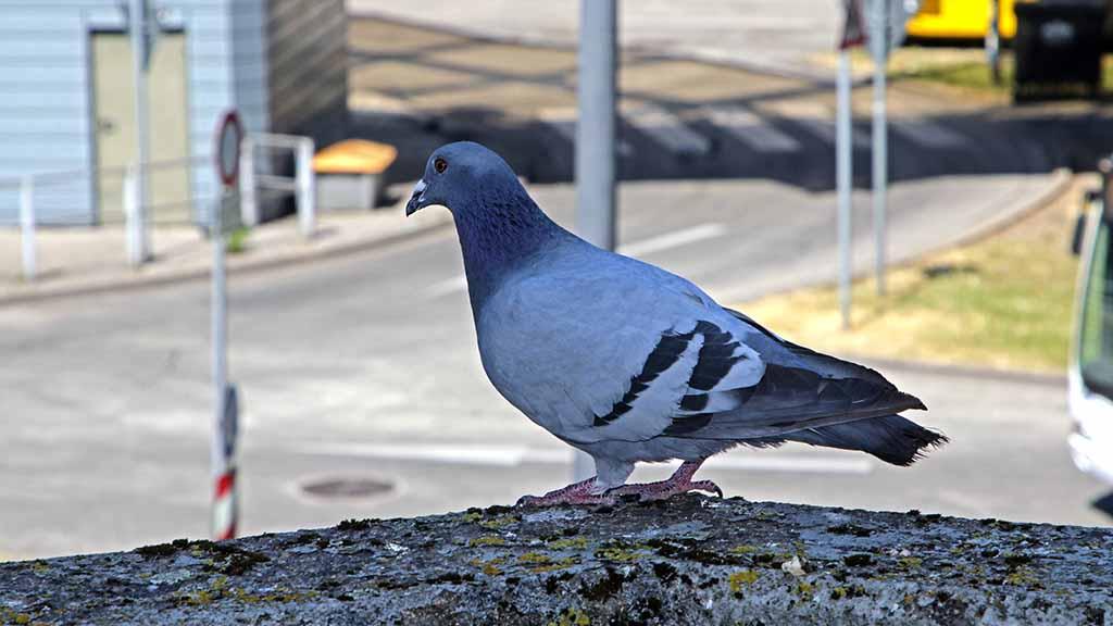 Steglitz-Zehlendorf: Und täglich nervt der Taubendreck