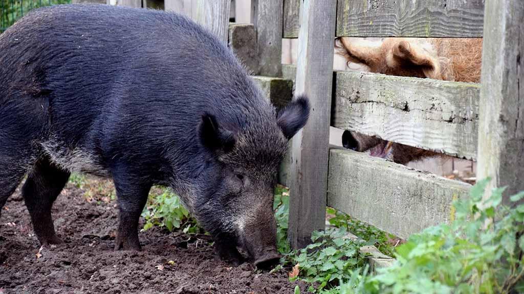 Berliner Museumsdorf: Müssen die Weideschweine in den Käfig?