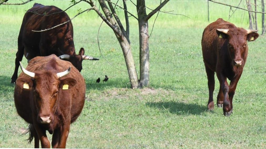 Rinder und Pferde weiden am Tempelhofer Feld