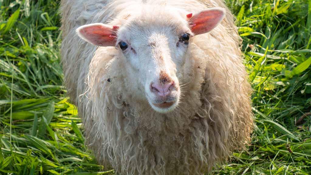 Berlin-Spandau: Schafe pflegen Erholungsfläche in Staaken