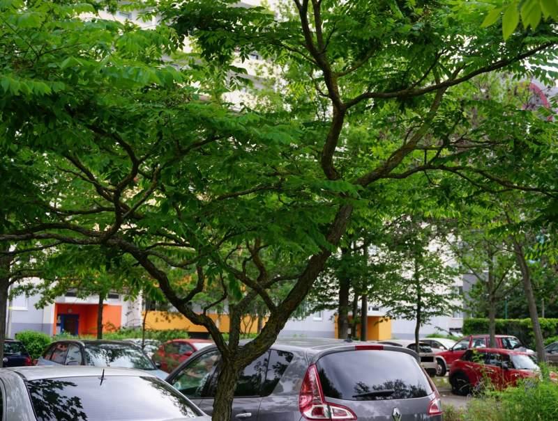 Selterner Gast in europäischen Gefilden: Dieser Kentucky-Coffee-Tree steht im Altglienicker Kosmosviertel.