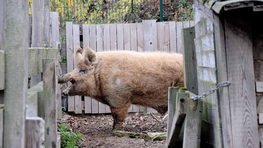 Schweine in Gefahr: Museumsdorf Düppel bittet um Spenden